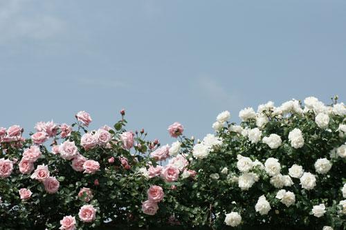 青空と薔薇2