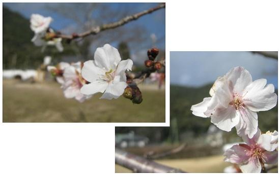 IMG_4467 十月桜