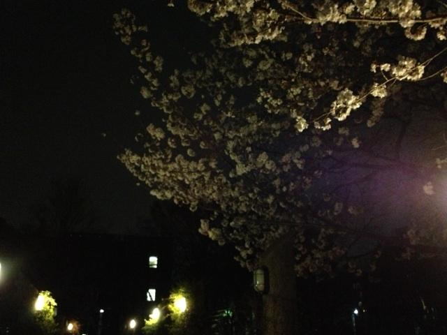 西船橋 カイロ 整体 夜桜②