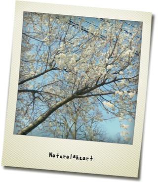 桜が。。。