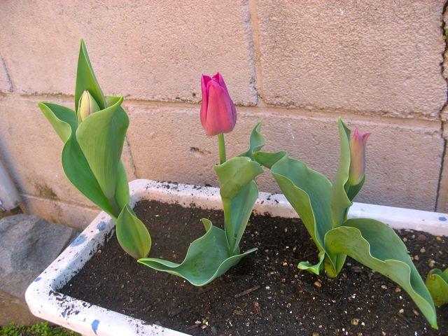 tulip0404.jpg