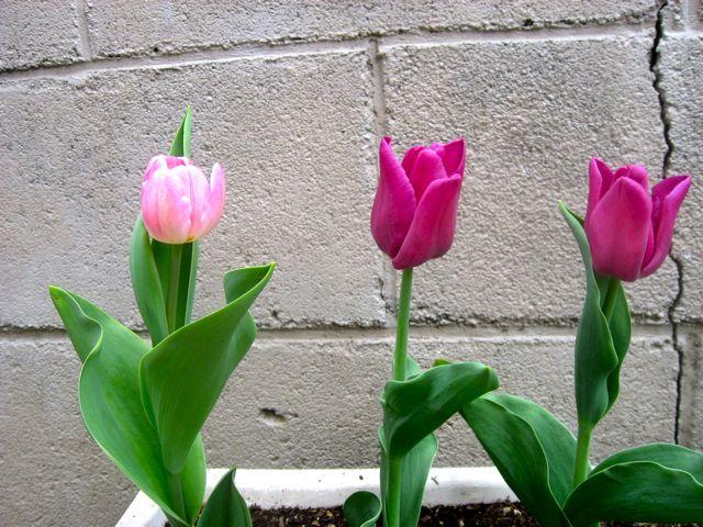 tulip0406.jpg