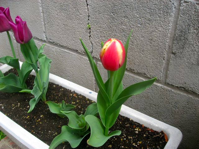 tulip0407.jpg
