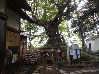 樹齢850年のご神木。生きる力が宿ると有名なんでつって。