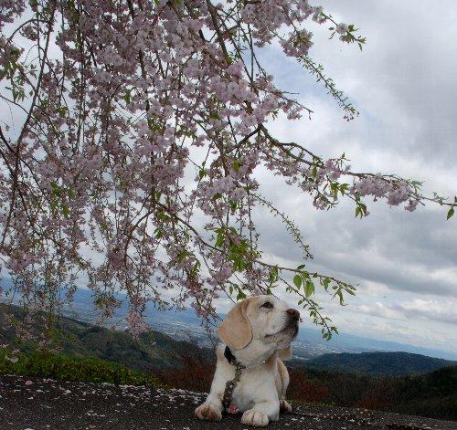 2012・04・21善峯寺6