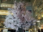 相模大野駅の桜の木