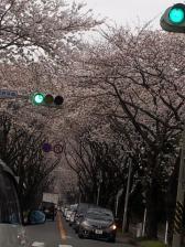 海軍道路の桜
