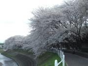 藤沢大和自転車道の一番の桜