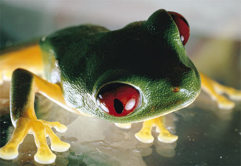 red-eyed-tree-frog.jpg