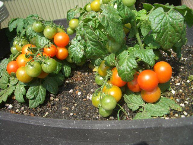 ミニトマト 庭