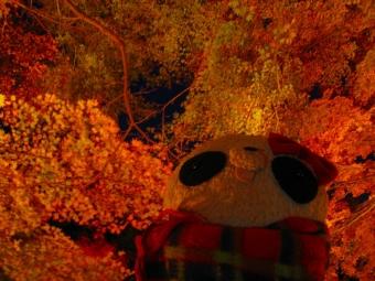 ばぶちゃん夜のもみじ林にて