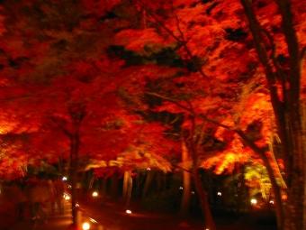 夜のもみじ林
