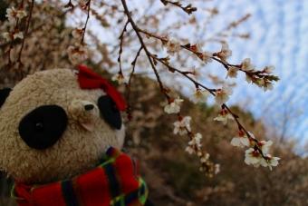 おばぶ梅の花2014
