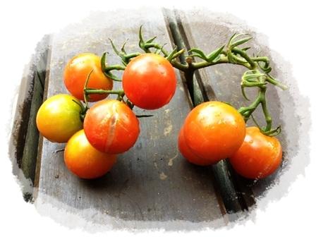 ラストミニトマト