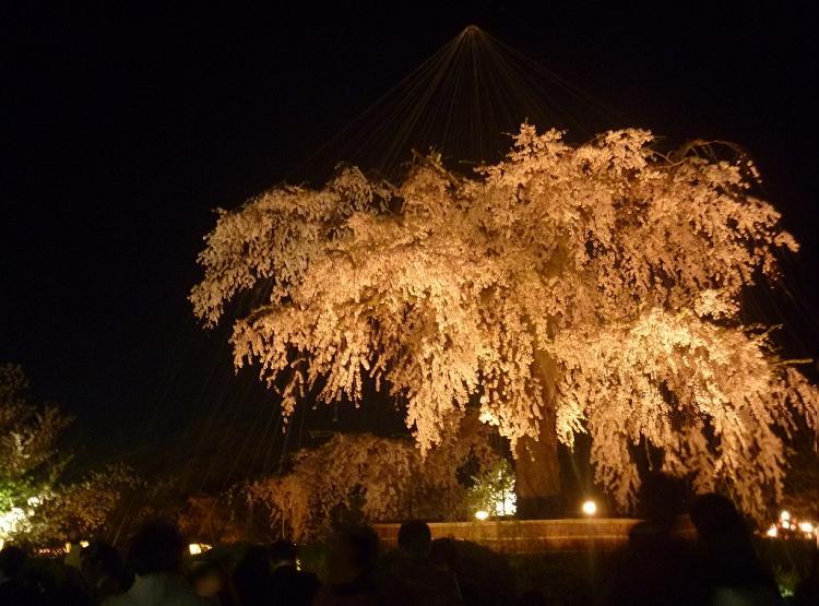 夜桜 01 (02)