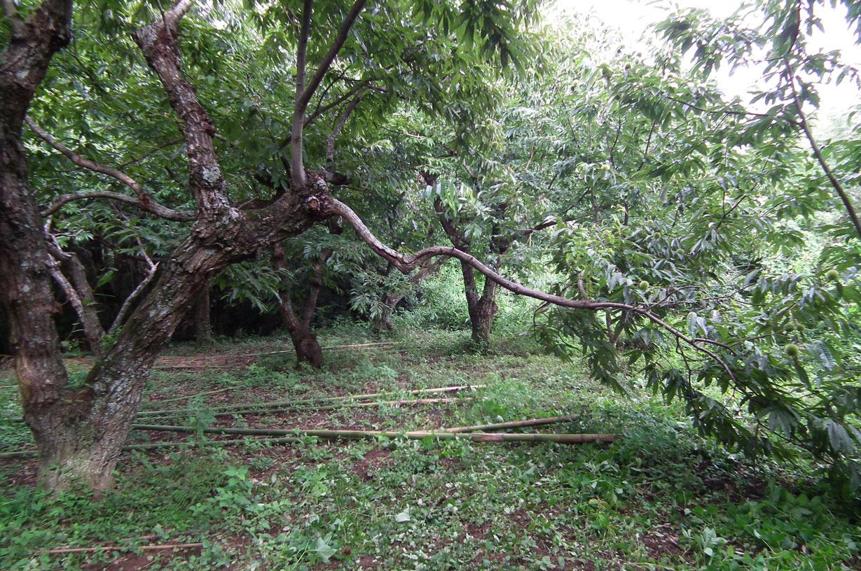 集中豪雨で折れた枝2
