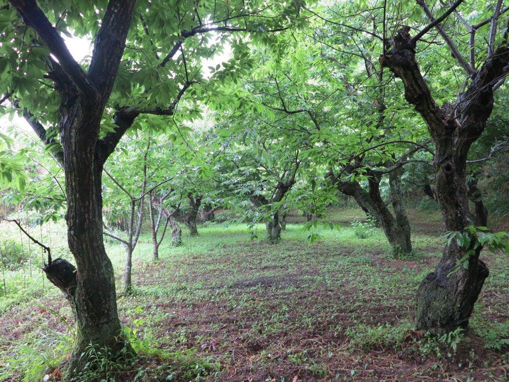 栗の花_中の畑_2