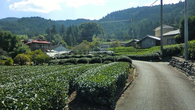 青部の茶畑