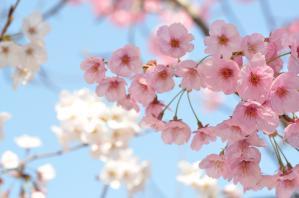 4月1日 舞鶴公園(福岡市中央区)