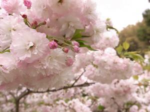4月21日 父が植えた八重桜(福岡県糸島市)
