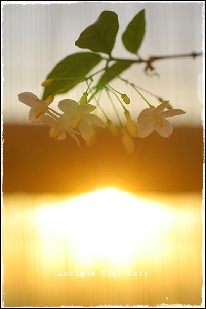 トンモーク ต้นโมก オマツリライトノキ wrightia religiosa 花 木 ベランダ 園芸 flower tree ต้นไม้ ดอกไม้