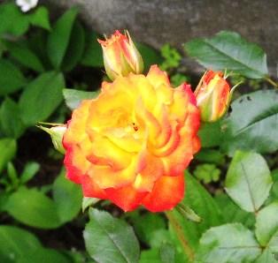 バラ orange 13
