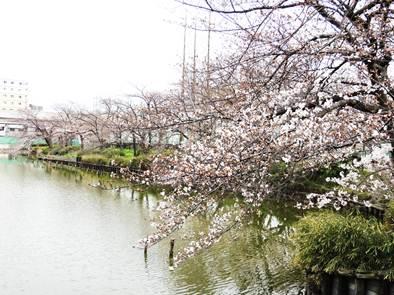 桃ヶ池の桜