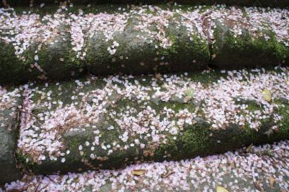 階段は桜のじゅうたん。