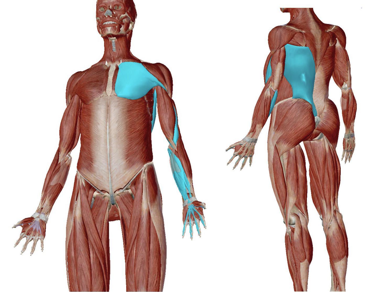 手指と筋膜連結