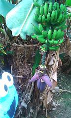 お向かいのバナナ
