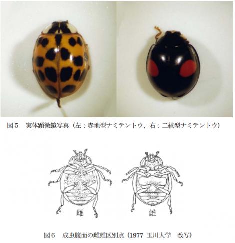 ナミテントウ雌雄