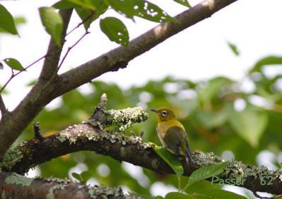 メジロ幼鳥(羽ふるわせ)
