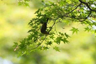 メジロ、楓の木で