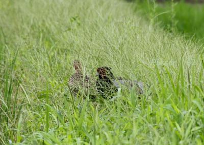 草の中のキジ番