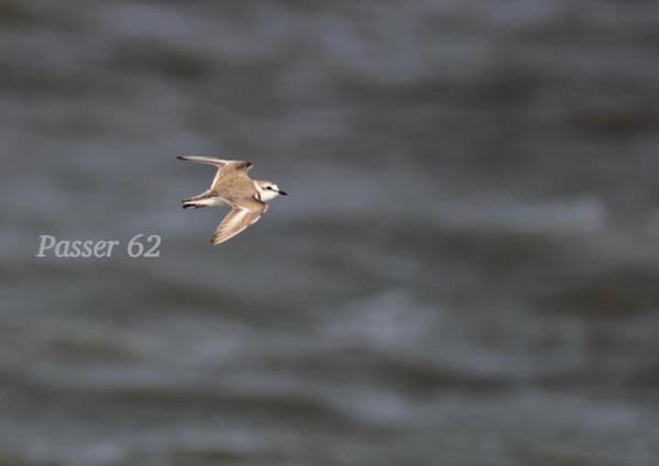 シロチドリ飛び