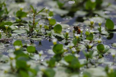 ハチがとまった水草の白い花