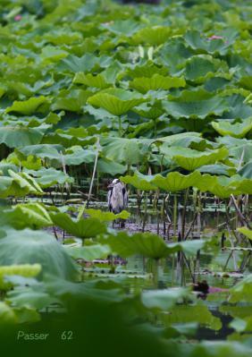 不忍池ボートの上のアオサギ