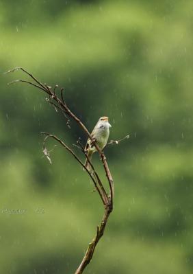 雨でもがんばるウグイス2
