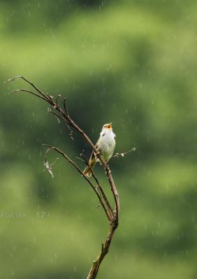 雨でもがんばるウグイス3