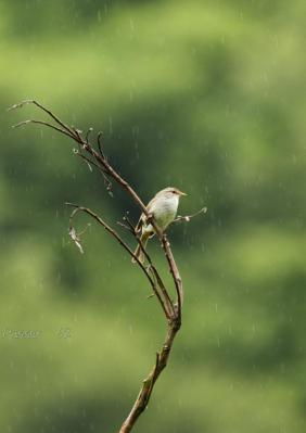 雨でもがんばるウグイス4