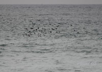 水面のすぐ上で飛んでいくヒヨドリ達