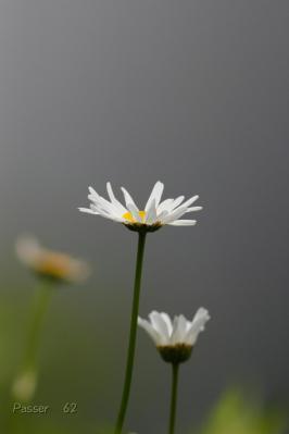 わからない白い花