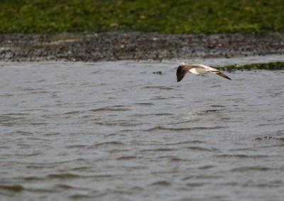 飛ぶアオアシシギ