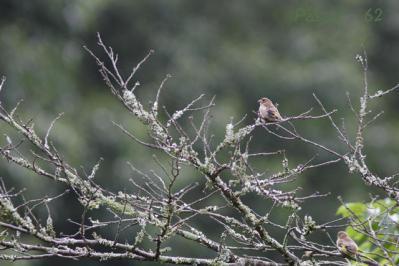 2羽のカワラヒワ幼鳥