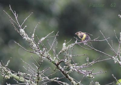 カワラヒワ幼鳥の伸び