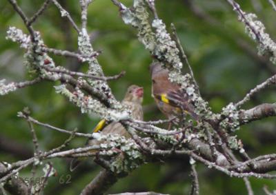 カワラヒワ幼鳥のおねだり