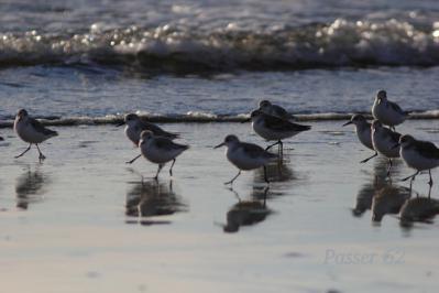 朝の砂浜ミユビシギ