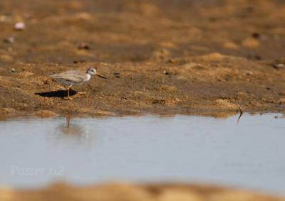 干潟でソリハシシギ1