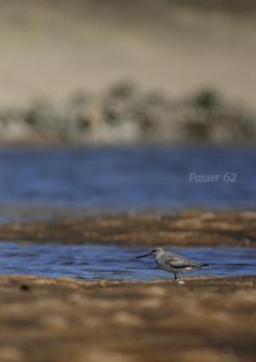 干潟でソリハシシギ2