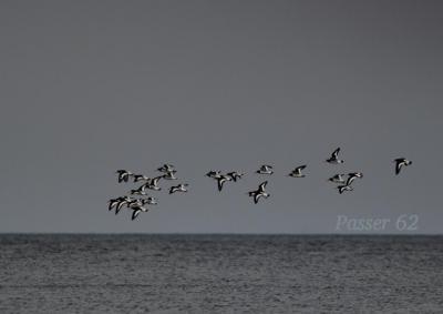 ミヤコドリ海の上